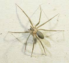 The Brown Recluse How To Tell If You Were Bitten