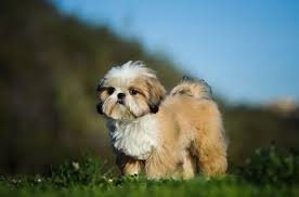 Five Useful Things To Know About The Shih Tzu Puppy Pets4homes