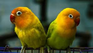 14 Fun Facts About Lovebirds Science Smithsonian