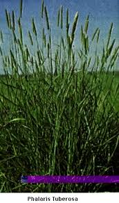 Phalaris aquatica