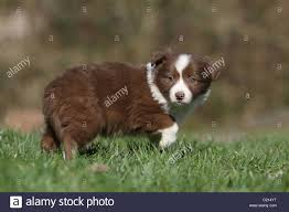 Dog Border Collie puppy red and white ...