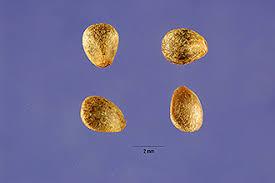 Plants Profile for Galeopsis tetrahit (brittlestem hempnettle)