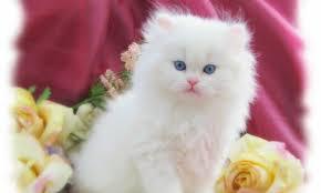 beautiful white cats wallpaper. Perfect Wallpaper Beautiful White Cute Cat Wallpaper To Cats A