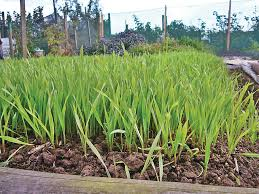 garden cover crop. Winter Rye, A Cover Crop That Will Naturally Replenish Your Garden. Garden