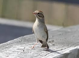 Coastal Virginia Wildlife Observatory: Clay-colored Sparrow at Kiptopeke