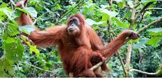 Image result for camp leakey borneo orangutan