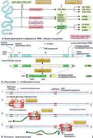 Реферат Клетка строение и внутренние процессы com  Клетка строение и внутренние процессы