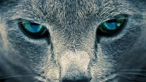 full hd animal wallpapers. Brilliant Full Blue Eyes In Full Hd Animal Wallpapers D