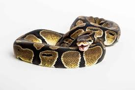 How To Feed A Ball Python Schedule Cost And Tips