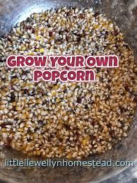 Growing Popcorn Growing Popcorn Llewellynhomestead