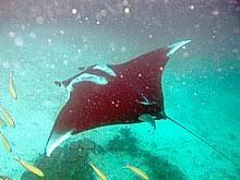 Giant Oceanic Manta Ray Wikipedia