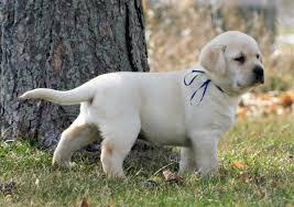 english yellow lab puppies.  Yellow Reserve Your English Labrador Pup Inside Yellow Lab Puppies