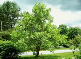 Download Best Trees To Plant  Solidaria GardenGood Trees For Backyard