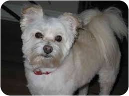 west highland white terrier maltese mix. Contemporary Maltese Frisco TX  Westie West Highland White Terrier Meet Piper A Dog For  Adoption On Terrier Maltese Mix T