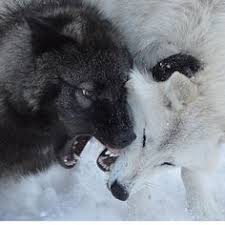 white wolf and black wolf fighting. Fine Wolf White Wolf And Black Fight On Wolf And Black Fighting F