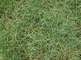 Grass Couch Fileblue Couch Grass 3139251911jpg Wikimedia Commons
