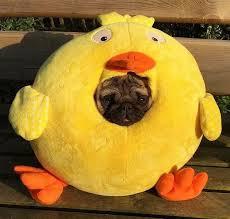pug in pumpkin costume. Wonderful Costume BattlePsBattle A Pug In A Duck Costume Intended In Pumpkin Costume O