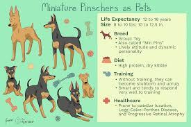 Miniature Pinscher Weight Chart Goldenacresdogs Com