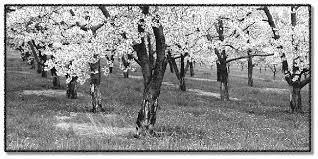 Znalezione obrazy dla zapytania spring orchards black and white