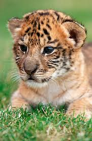 cute baby liger. Contemporary Liger Liger  Liger U2013 Cross Between Tiger And A Lion With Cute Baby S