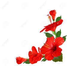 hibiscus flowers hibiscus flowers stock photo picture and royalty free image image