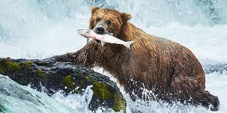 Grizzly Bear National Wildlife Federation