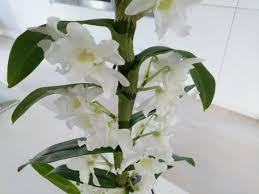 How To Care For A Dendrobium Nobile Orchid With Pictures