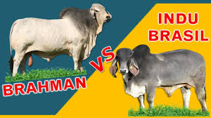 Some infusion of local british breed (bos taurus) cattle also occurred during its development. Brahman Biggest Hump Vs Indu Brasil Largest Ears The Comparison Of Two Best Breeds Tagalog Youtube