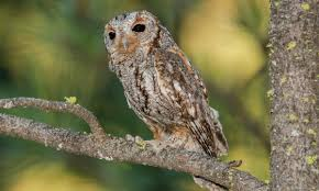 Flammulated Owl Introduction Birds Of North America Online