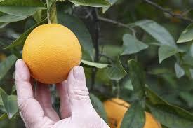 Mature citrus won't fruit
