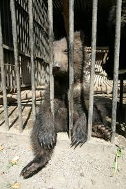 a cub in a cage bear dancing