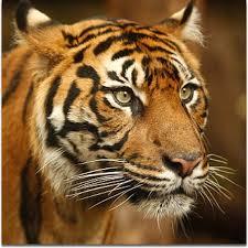 Image result for google images TIGER