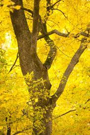 Yellow Tree Pictures