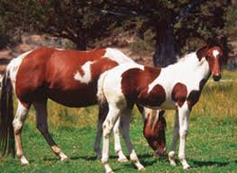 Indian War Horse Paint Chart Color Patterns In Paint Horses Expert Advice On Horse Care
