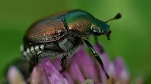 japanese beetles life cycle habits and traits of japanese beetles popillia japonica