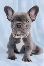 teacup blue french bulldog puppies. Unique Bulldog Gorgeous Blue French Bulldog Puppy And Teacup Puppies
