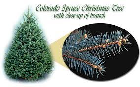 Types Of Cut Christmas Trees  Jim Jenkins Lawn U0026 Garden CenterArtificial Blue Spruce Christmas Tree