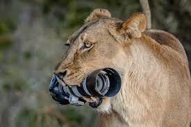 canon dslr and gives it to her cubs