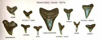 Shark Teeth 101 Beach Hunting Tips Danielles Dives Blog