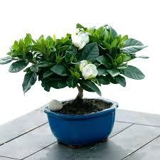 office bonsai. Office Bonsai Tree Gardenia Care Desk