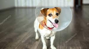 elizabethan coller jack terrier pup with vet collar stock photo elizabethan collar petco soft elizabethan collar cat