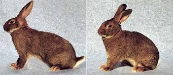 Risultati immagini per coniglio verde leprino