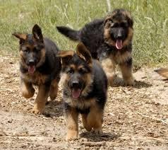 black and brown german shepherd puppies.  German Black And Tan German Shepherd Puppies For Brown R
