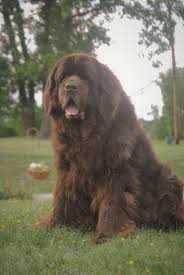 Newfie Puppy Growth Chart The Bigger The Newfoundland The Better Why Bigger Is Not