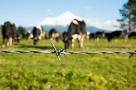 barbed wire fence cattle. Rural Image Barbed Wire Fence Strand With Blurred Black And White Dairy Cattle Mount Egmont T