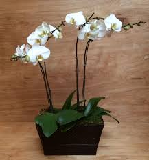 two phalaenopsis orchid plants