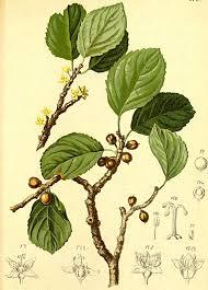 Rhamnaceae - Wikipedia