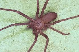Ucr Spiders Site Brown Recluse Spiders