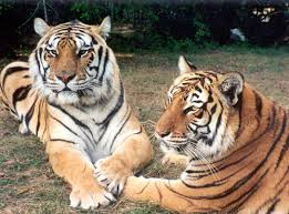 siberian tiger vs bengal tiger. Simple Siberian Tigers In Love In Siberian Tiger Vs Bengal