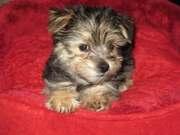 gismo the morkie puppy previously for